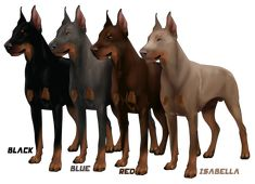 "Although there are several varieties of ""Pinscher""  (several sizes, colors and coat types) the DOBERMAN that was the signature dog of Mr. Dobermann was always Black and Tan. It has 2 dilutions (brown and blue) and the combination of the 2 which is called ""Isabella"", Fawn, and ""Lilac"" (the color of a Weimaraner)   Outside of this, they no longer represent the dogs of Mr Doberman."