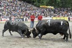 Combats des Reines 2012 Wallis, Switzerland, Creatures, Cows, Animals, Cow, Queen, Photo Illustration, Animales