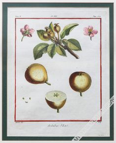 Antique shop shows impressive pomology print - (that is, from the department of fruit science) - from the famous work the French scientist Henri Louis Duhamel du Monceau, entitled 'Treaty on fruit door'.  https://www.atticus.pl/?pag=poz&id=74830  https://www.atticus.pl/?katalog=ryciny #engraving #graphic