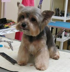 This looks like Otis right before he leaves the groomer and then he NEVER looks like it until return visit.