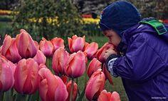 Ogrody KEUKENHOF - Holandia Keukenhof Garden - Lisse, Holland, Netherlands #keukenhof #ogród #garden #tulip #tulipan #flower #kwiat #holland #netherlands #dutch #holandia #travel #withkids #zdziećmi #dziecko #kids