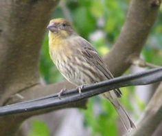 yellow house finch