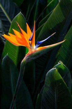 Tattoo bird of paradise strelitzia 25 New Ideas - tropical garden ideas Tropical Art, Tropical Garden, Tropical Plants, Exotic Flowers, Tropical Flowers, Amazing Flowers, Birds Of Paradise Plant, Bird Of Paradise Tattoo, Paradise Garden