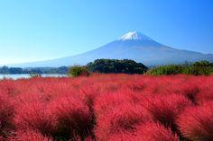 日本一のふわもこ絶景!赤一色に染まる「コキアの丘」で秋を感じよう - Find Travel