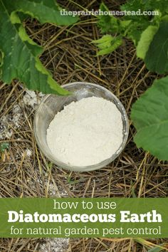 how to use diatomaceous earth in the garden as natural pest control-- plus how to avoid it harming bees and beneficial insects.: