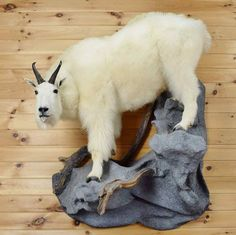 Mountain Goat Taxidermy Mount - Gold Medal - SW3583 for sale at Safariworks Taxidermy Sales