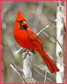 Cardinals are one of the birds that backyard bird enthusiasts are most eager to attract to their yards. The male cardinal, with his bright red plumage, is one of the most...