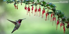 This Anna's hummingbird approaches a branch of staggering florets in Rick Derevan's backyard in Atascadero, California. The bird is about the size of a ping-pong ball, and weighs about as much as a nickel. All Birds, Little Birds, Modern Birdhouses, Duck Bird, California Native Plants, Photo Awards, John James Audubon, Tiny Bird, Hummingbird Tattoo