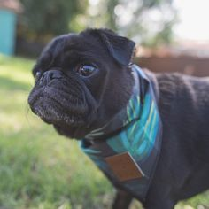 This week's pug photo challenge is all about bandanas. So let's see those awesome bandanas you have. Tag your photos with #tpdbandanas #thepugdiary