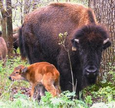 Baby bison calves arrive at both the Elk & Bison Prairie and South Bison Range during April and May. Mothers keep them close for protection for the first week or so. Visit Land Between The Lakes during the spring to see these cuties. Staff photo