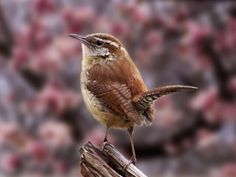 Carolina Wrens - we've seen them here in the Spring time.  Such a classic wren profile!