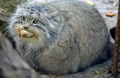 Fancy Cats, Big Cats, Cool Cats, Cats And Kittens, Pretty Cats, Beautiful Cats, Felis Manul, Pallas's Cat, Rare Cats