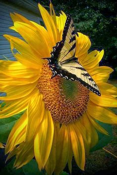 Image in Butterfly World collection by Cristela Uploaded by Cristela. Find images and videos about butterfly sunflower and flowers on We Heart It - the app to get lost in what you love. Beautiful Butterflies, Beautiful Flowers, Beautiful Pictures, Beautiful Gorgeous, Simply Beautiful, Absolutely Stunning, Flora Und Fauna, Mellow Yellow, Yellow Black
