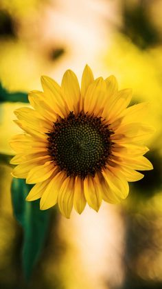 Sunflower Flower, My Flower, Sunflower Photography, Cute Goats, Sunflower Wallpaper, Container Flowers, Background Pictures, Amazing Flowers, Nature Pictures