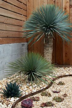 Yucca's and Agave with Corten steel curving border and gravel beds. By Flora Grubb Gardens