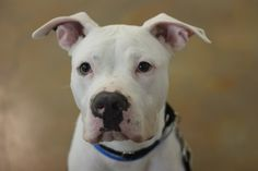 Click through to learn more about Artie, a one-year-old Pit Bull Terrier mix available for adoption at @pawschicago