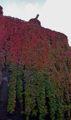 Van groen naar rood. Herfstkleuren in de #Haarlemmerbuurt #BinnenVissersstraat. http://www.facebook.com/haarlemmerbuurt