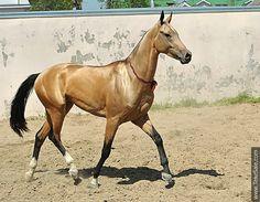 Akhal-teke horses for sale - Diger(Gadjar - Dilma)