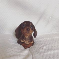 More About The Dachshund Puppies Dachshund Puppies, Weenie Dogs, Dachshund Love, Cute Puppies, Cute Dogs, Dogs And Puppies, Doggies, Dapple Dachshund, Chihuahua Dogs