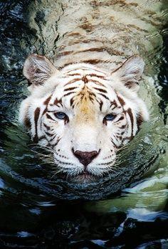 White tiger swimming in water. So beautiful <3   For Syd <3 @Shauna (LilDuckieArts) (LilDuckieArts) Walker Lady