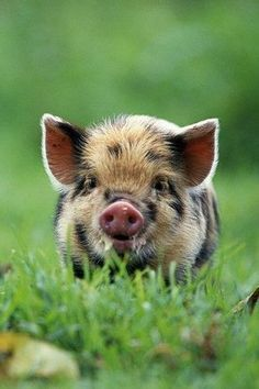 We challenge anyone to find something more sweet than a micro-pig. Even though it's important to remember, they do not stay tiny, and adult micro pigs eventually weigh about 65 pounds and will be about the size of a Spaniel! Cute Creatures, Beautiful Creatures, Animals Beautiful, Cute Baby Animals, Animals And Pets, Funny Animals, Farm Animals, Jungle Animals, Pet Pigs