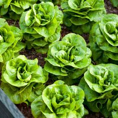 Troubleshooting Your Vegetable Garden, Butterhead lettuce- sweeter varieties are Adriana & Tom Thumb, also sweeter when picked before 8am.