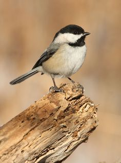 Chickadee,  the Boss!  LOVE watching these at my feeder.