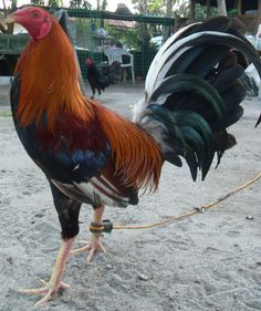 """Album gamefowl show purpose only"""" by Dr Lambert Beautiful Chickens, Beautiful Birds, Animals Beautiful, Backyard Birds, Chickens Backyard, Mclean Hatch, Rooster Breeds, Game Fowl, American Games"""