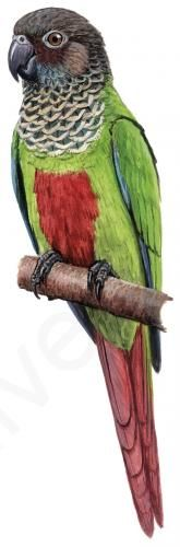 Bonaparte's Parakeet (Pyrrhura lucianii)   HBW Alive