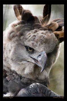 Harpy Eagle by rgphoto777 on DeviantArt