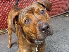 GONE RIP 7/26/13 Manhattan JAIDEN A0972488 MALE BRINDLE/WHITE ROTTIE/ MASTIFF 1yr/7mos Surrendered by his owner who he lived w/ all his life who's moving He lived w/ 2 adults &1 kid is housetrained lived w/ dogs/cats & plays is friendly to all & knows sit stay food & outside He's a family boy w/out a family He'll provide the love, you provide the family. SPLS SAVE HIM TONITE