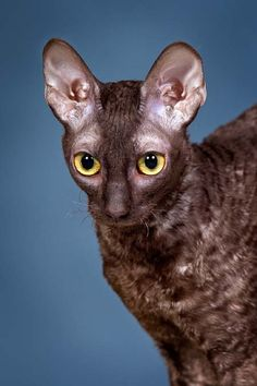 Cornish rex cat. I have seen one of these in person and love them :)
