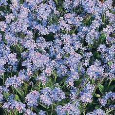 Would love to mix the white, pink, and blue Forget-Me-Nots