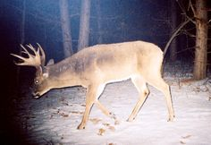 Five Tips for Photographing Mature Bucks