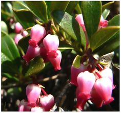 BEARBERRY  Arctostaphylos uva-ursi Seeds by ALLooABOUTooSEEDS