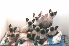 love this breed; especially, Traditional Applehead Siamese! They are such lovely animals! Siamese Cat Breeders, Siamese Kittens, Cats And Kittens, Tabby Cats, Kitty Cats, Cute Cats, Funny Cats, Funny Animals, Cute Animals