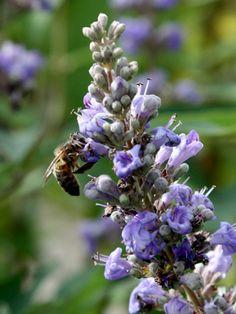 Nicht nur für das menschliche Auge ist der Mönchspfeffer attraktiv. Er ist auch eine exzellente Bienenweide!