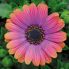 African Daily Zion Copper Amethyst - Yes, these blooms really do shade from bright purple at the base through hot pink and finally orange!