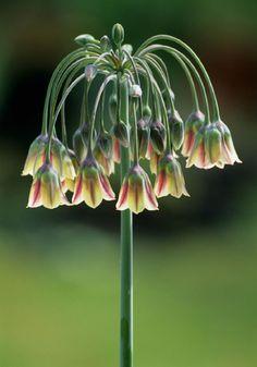 Allium Nectarscodum