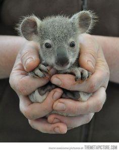 a baby koala!! :3