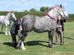 BestDraftHorse.com - Draft Horses For Sale