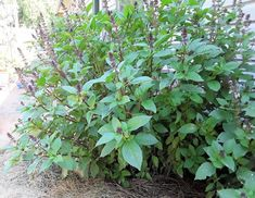 Garden Boxes, Herb Garden, Vegetable Garden, Garden Fun, Cinnamon Basil, Garden Seeds, Companion Planting, Amazing Gardens, Purple Flowers