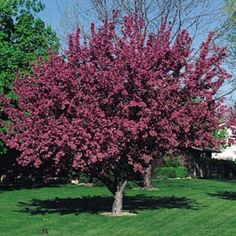 Red Splendor Crabapple very hardy, zone 3 from MN. fruits stay on tree, less mess