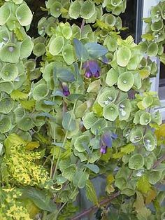 BELLS OF IRELAND  -- The flowers of Moluccella laevis are a symbol of good luck.