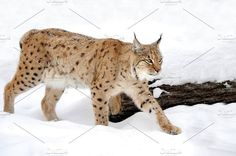Lynx Photos Beautiful wild lynx in winter by byrdyak