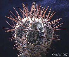 Astrophytum Ornatum fukuruyu