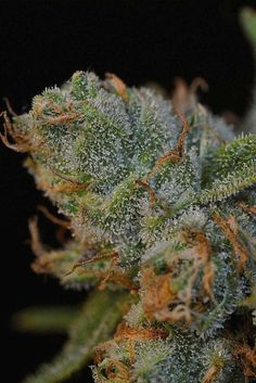 "Tangerine Haze -- Tastes like ""Cuties"" brand California Clementine oranges."