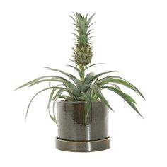 Green lifestyle store Ananas Champaca incl. pot