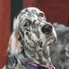 English Setter information including pictures, training, behavior, and care of English Setters and dog breed mixes.