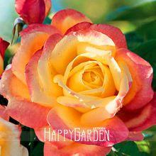 Best-Seller! 50 sementes/Lote, nova Bella Roma Roseira Sementes de Plantas, # FB10UM(China (Mainland))